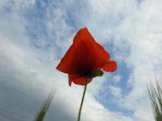 Poppy seed by Romuald Statkiewicz