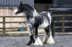 blagdon stallion