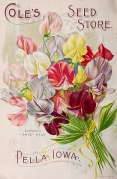 Eckford's Sweet Peas illustration from 'Cole's Garden Annual 1899.' Pella, Iowa.U.S. Department of Agriculture, National Agricultural Library.archive.org