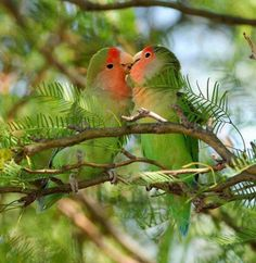 Chocoyos birds in love