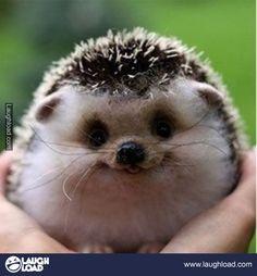 Just a baby Hedgehog.