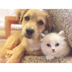 """From @Munchkinandmutt: """"Hello world! We are Atlas and Olie, pint-sized trouble makers and cuddling experts!"""" #cutepetclub"""