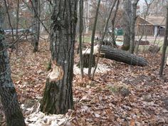 The work of the beavers - on our beaver pond.