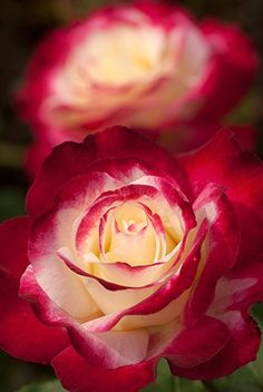 What a pretty red and white rose. Just a perfect picture.