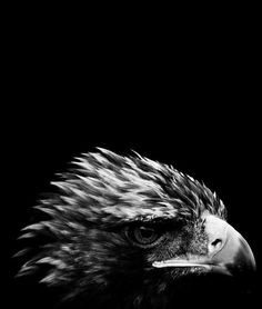 Aigle royal / Source : Communauté photo GEO, © Nicolas Evariste