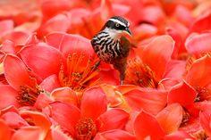 Searching - Bird: Streak-breasted Scimitar Babbler (Pomatorhinus ruficollis); Taiwan Scimitar-babbler 小彎嘴畫眉 (棕頸鈎嘴鹛) Flower: Silk Cotton Tree (Bombax ceiba) 木棉花.