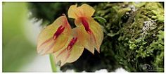 Lepanthes leporina, New orchid species