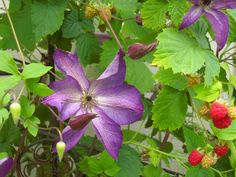 Clematis and Raspberries