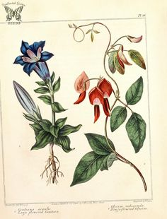Large Flowered Gentian (Gentiana acaulis) and Dingy-flowered Glycine (Kennedia rubicunda as Glycine rubicunda). The new botanic garden Vintage Botanical Prints, Botanical Drawings, Botanical Art, Botanical Gardens, Vintage Art, Vintage Images, Plant Illustration, Botanical Illustration, Flower Illustrations