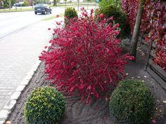 Euonymus alatus 'Compactus' / Niedriger Korkspindelstrauch - der Korkspindelstrauch leuchtet im Herbst in kräftigem Orange- bis Karminrot.
