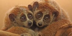 Ban Illegal Trade of Slow Loris and Save it From Extinction