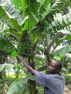 Shem Harvesting Matooke -  Ugandan diet info
