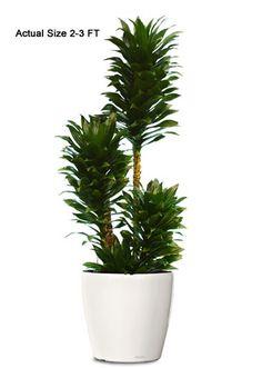 7 Office Plants You Won\'t Kill | Gardening | Pinterest | Corn plant ...