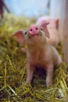 I am a BABY PIg. Mini, micro, teacup pigs are NOT breeds. Pigs that STAY SMALL Do NOT exist . Please educate yourselves before taking the responsibility of buying a pig! Animals And Pets, Cute Animals, Baby Farm Animals, Teacup Pigs, Cute Piggies, Baby Pigs, Baby Goats, Cat Dog, Tier Fotos