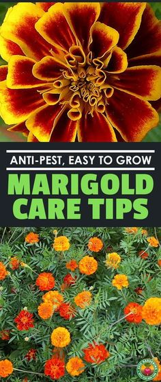 marigolds in garden Marigolds are easy-growing, keep pests at bay, are often edible, and are the 'flower of the dead' in Mexican culture. Learn to grow them here! Marigolds In Garden, Growing Marigolds, Garden Pests, Growing Peonies, Growing Flowers, Planting Flowers, Flowers Garden, Flower Gardening, Fruit Bearing Trees