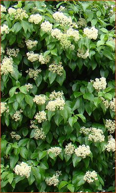 Decumaria barbara : Brushwood Nursery, Vines and Climbers For Your Garden
