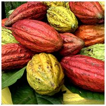The rich cocoa butter in our Olive Oil Body Butter comes from vibrant cacao pods like these!