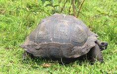 Scientists now say this is a new species of Galapagos tortoise and they have named it C. donfaustoi.