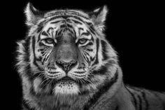 #tiger Fine Art #Wildlife #Photography with Wolf Ademeit http://www.wolfademeit.de/