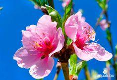 Difusores excelentes para el riego de árboles frutales 💦 como estos melocotoneros 🍑 por su distribución uniforme del agua  👇 👇 👇  [+Info ➡ 955 99 81 81/ info@aquatubo.com] Rose, Plants, Water Treatment, Irrigation, Fruit Trees, Flowers, Pink, Plant, Roses
