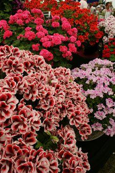 Pelargonium 'Aztec' (Regal geranium) (2)   Flickr - Photo Sharing!