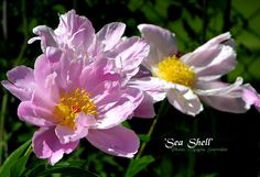 Sea Shell peony -- planted May 2013