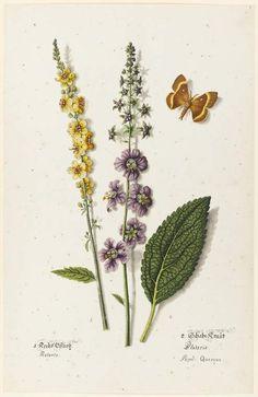 Joseph Jakob von Plenck, Dark Mullein, Blataria, and a Quercus butterfly, 18th century (source).