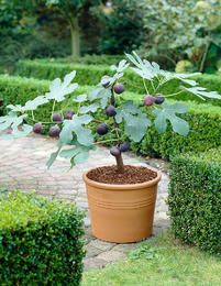 Vintage French Soul ~ Potted Fig Tree: Figs are sweet, chewy and healthy! Enjoy them right at home with our simple growing and harvesting tips. The Fig harvest season is in full swing, and this is great news because the sweet rich flavor of figs, combined Hydroponic Gardening, Hydroponics, Organic Gardening, Gardening Tips, Gardening Quotes, Gardening Vegetables, Small Space Gardening, Fruit Garden, Edible Garden