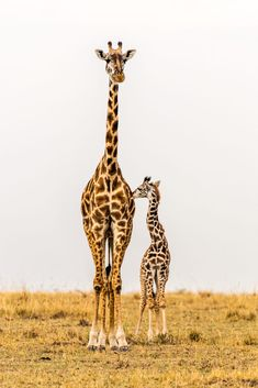 Standing Tall - Massai Giraffe Mother & Calf by Jennifer Watson on 500px