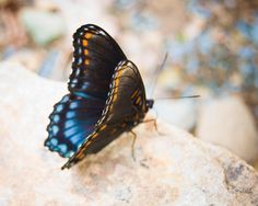 Nature Photography  Butterfly with Blue and by KSEVONPHOTOGRAPHY, $25.00
