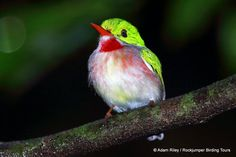 Broad-billed Tody (Todus subulatus) by Adam Riley | Flickr - Photo Sharing!