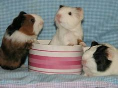 Three Little Pigs! (As seen on Guinea Pig Zone.)