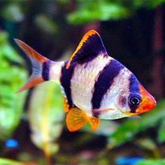 Types of tropical fish-Tiger Barb Aquarium Fish For Sale, Saltwater Aquarium Fish, Tropical Fish Aquarium, Tropical Fish Tanks, Tiger Fish, Pet Fish, Fish Fish, Tropical Freshwater Fish, Freshwater Aquarium Fish