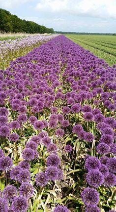 #Allium #Field #Grower #WietseMellema; Available at www.barendsen.nl