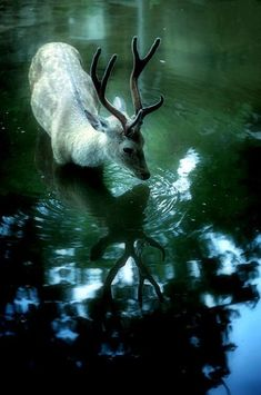 Gorgeous image of a deer(?) wading through deep water
