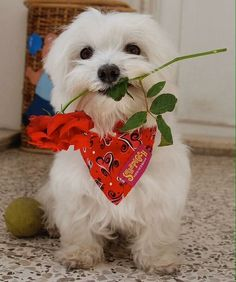 Maltese and Children: Is It a Good Combination - Champion Dogs I Love Dogs, Puppy Love, Cute Dogs, Maltese Dogs, Dogs And Puppies, Doggies, Animals And Pets, Cute Animals, Poodle