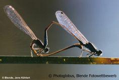 Paarungsrad der Pechlibelle, Blende Fotowettbewerb