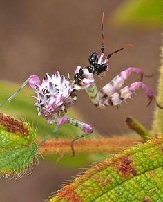˚Spiny Flower Mantis Nymph, Pseudocreobotra wahlbergii by pamsai - Swaziland