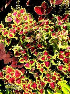 Heirloom 100 Seeds Coleus hybridus Rainbow Improved by seedsshop