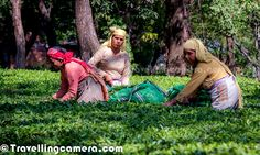 Ladies plucking Tea Leaves around Gardens in Palampur, Himachal Pradesh !