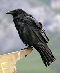 Image result for ravens with their mouths open