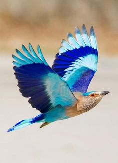 Indian Roller: When the 'Neelkanth' / Indian Roller (Coracias benghalensis) is in flight, the most glorious of all blue feathers - the bright-blue, turquoise and indigo are all visible in their full majesty. The bird is best known for the aerobatic displays of the male during the breeding season.  Photo by Hansu Nahar