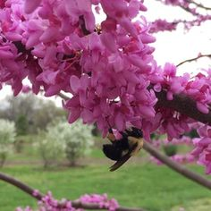 Plant Oklahoma Redbud by Cossey Botanical Park Arboretum in Trees for pollinators Spring Flowers, Wild Flowers, Small Fruit Trees, Judas Tree, Eastern Redbud, Black Walnut Tree, Organic Gardening, Flower Power