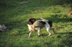 Gundog training: Bonding with handler | Gundog training, gundog trials, working tests, gundog results, gundog health | Shooting UK | Shooting UK