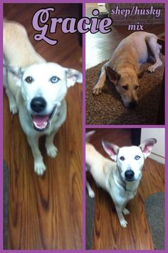 Gracie is a beautiful 1-2 year old white shepherd/husky mix. She has one brown eye and one blue eye. This beauty was taken to a high kill shelter along with her 9 puppies. All were pulled from the shelter. Momma is doing great and she is a fantastic...
