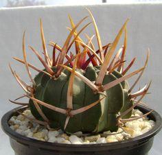 Echinofossulocactus coptonogonus SB13