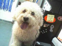 MURDERED 1 day after intake --- PANCHO (A1680651)I am a male white Bichon Frise. The shelter staff think I am about 8 years old. I was found as a stray and I may be available for adoption on 02/23/2015. — : Miami Dade County Animal Services. https://www.facebook.com/urgentdogsofmiami/photos/a.893700100664394.1073742042.191859757515102/930421360325601/?type=3&theater