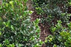 Hulst 'Heckenstar'  De Ilex x meserveae 'Heckenstar' (Nederlandse naam: Hulst 'Heckenstar') is een zeer winterharde hulst die uitstekend geschikt is voor het maken van hagen. De Hulst 'Heckenstar' heeft schitterend donkergroen blad, met een mooie glans