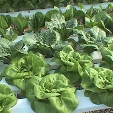 lettuce and other salad greens in a greenhouse