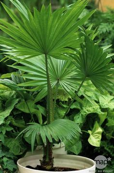 Another great houseplant is the Australian Fan Palm, which is so named because it's native to the forests along the coasts of Australia, and its fan-shaped leaves. The trunks are covered with the remnants of dead leaves which leave behind prickly fibers. Like most tropical plants, it has its own preferred levels of light, humidity, and fertilization for optimal growth. But with the Parrot Flower Power, even a novice gardener can keep it alive and thriving!